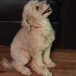 Archie, Poodle Mix