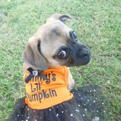 Lola, Chihuahua/Pug Puppy