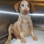Spencer, Redtick Coonhound Puppy