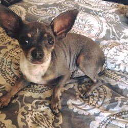 Chiquito, Mexican Hairless/Chihuahua Mix