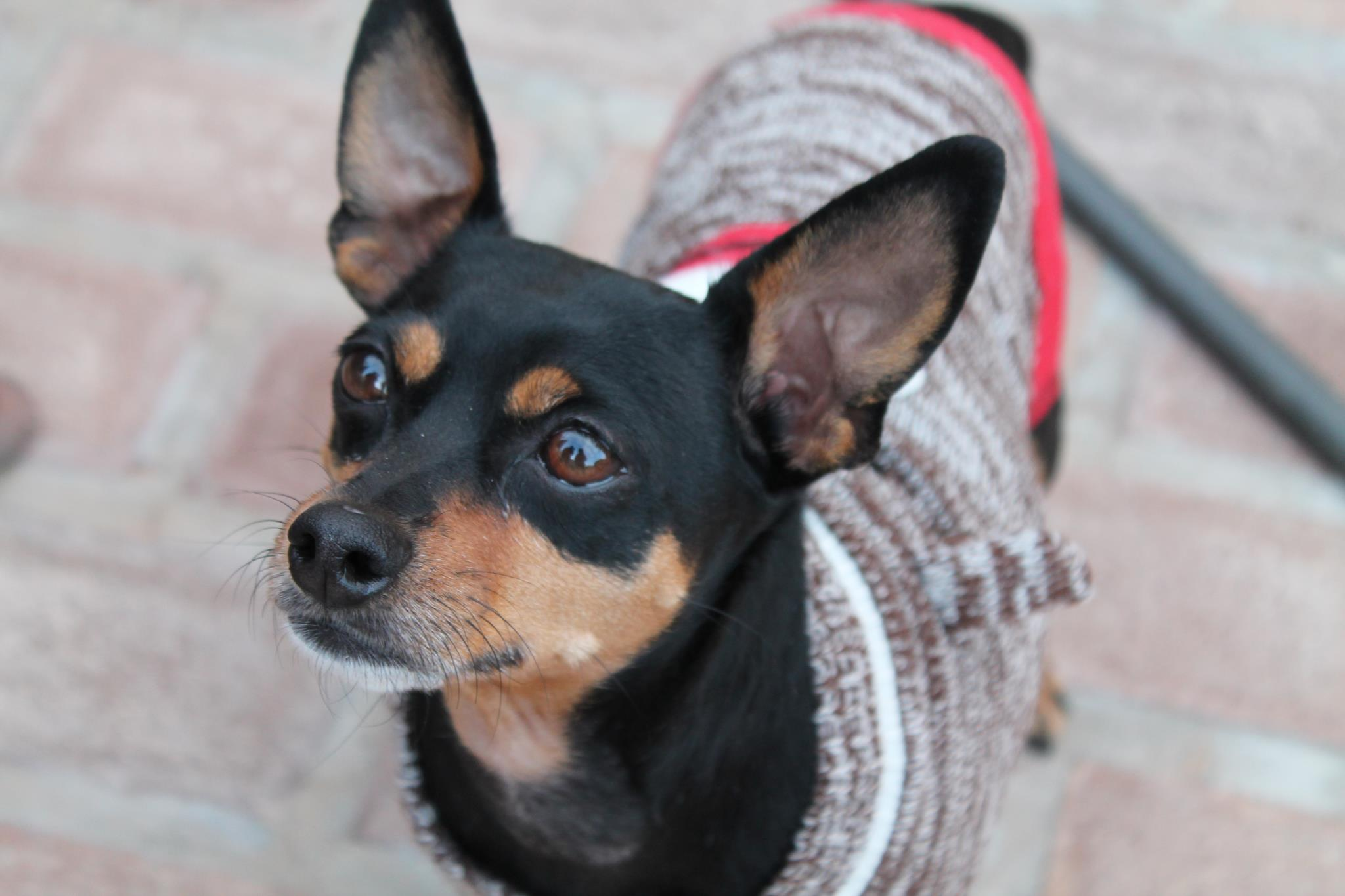 Chase, Min Pin Mix | | M.A.I.N. - Medical Animals In Need ...