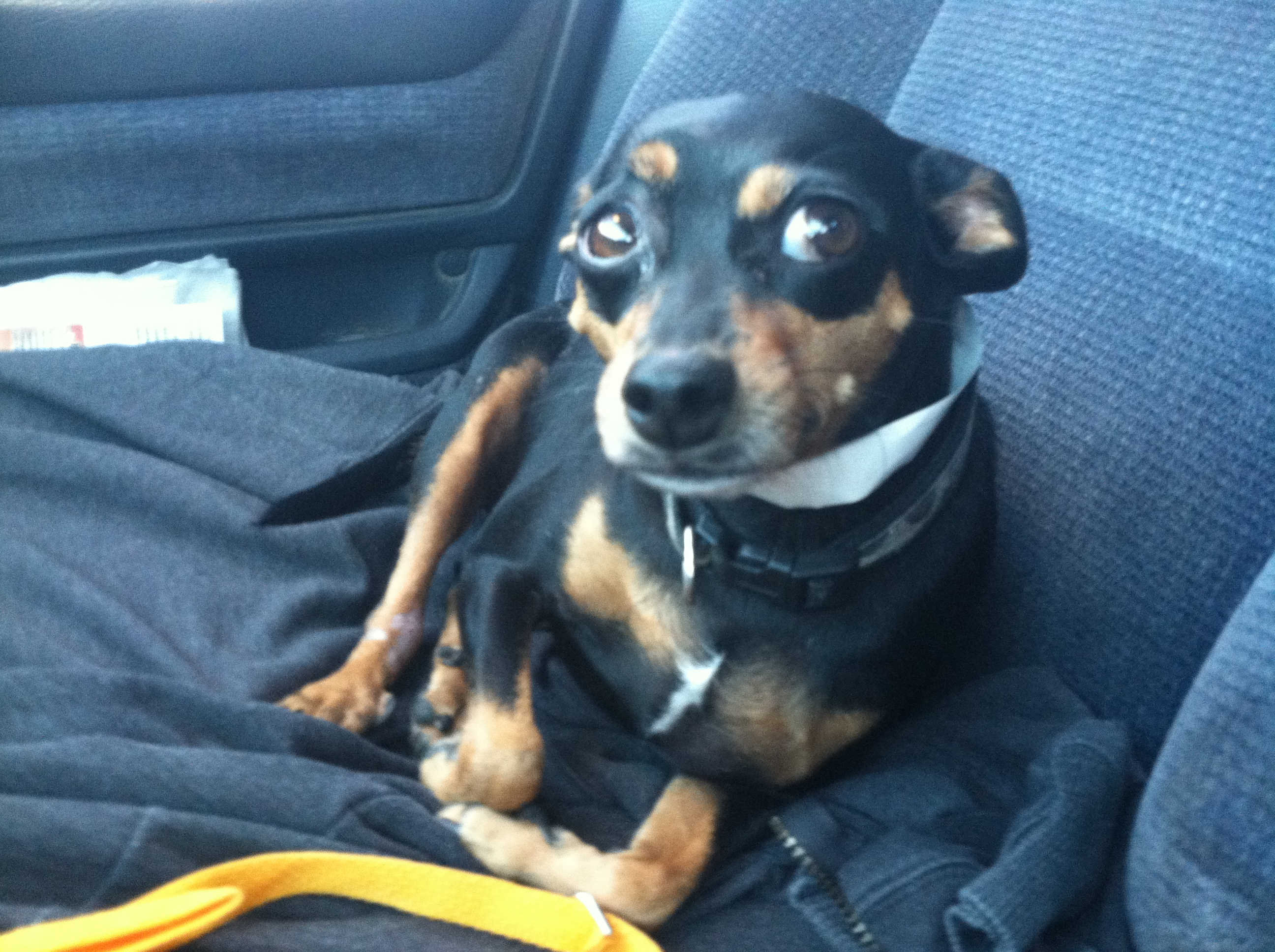 Chase, Min Pin Mix     M.A.I.N. - Medical Animals In Need, Dog ...