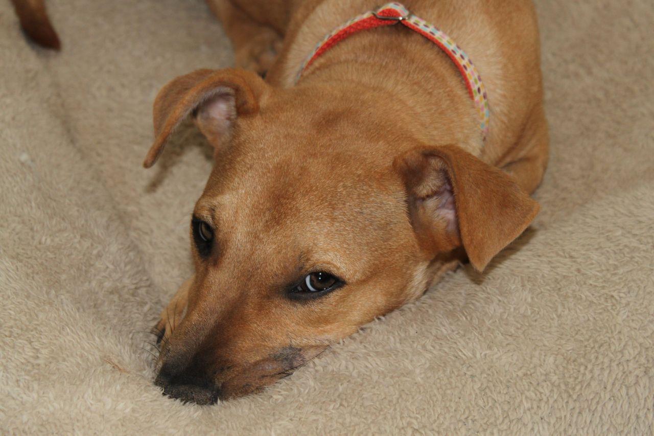 Corgi Rescue Dogs Phoenix