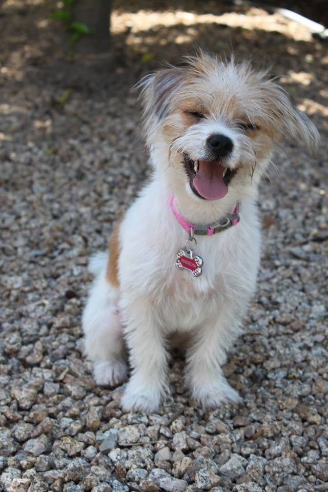 Madelyn Parson Russell Terrier Mix M A I N Medical