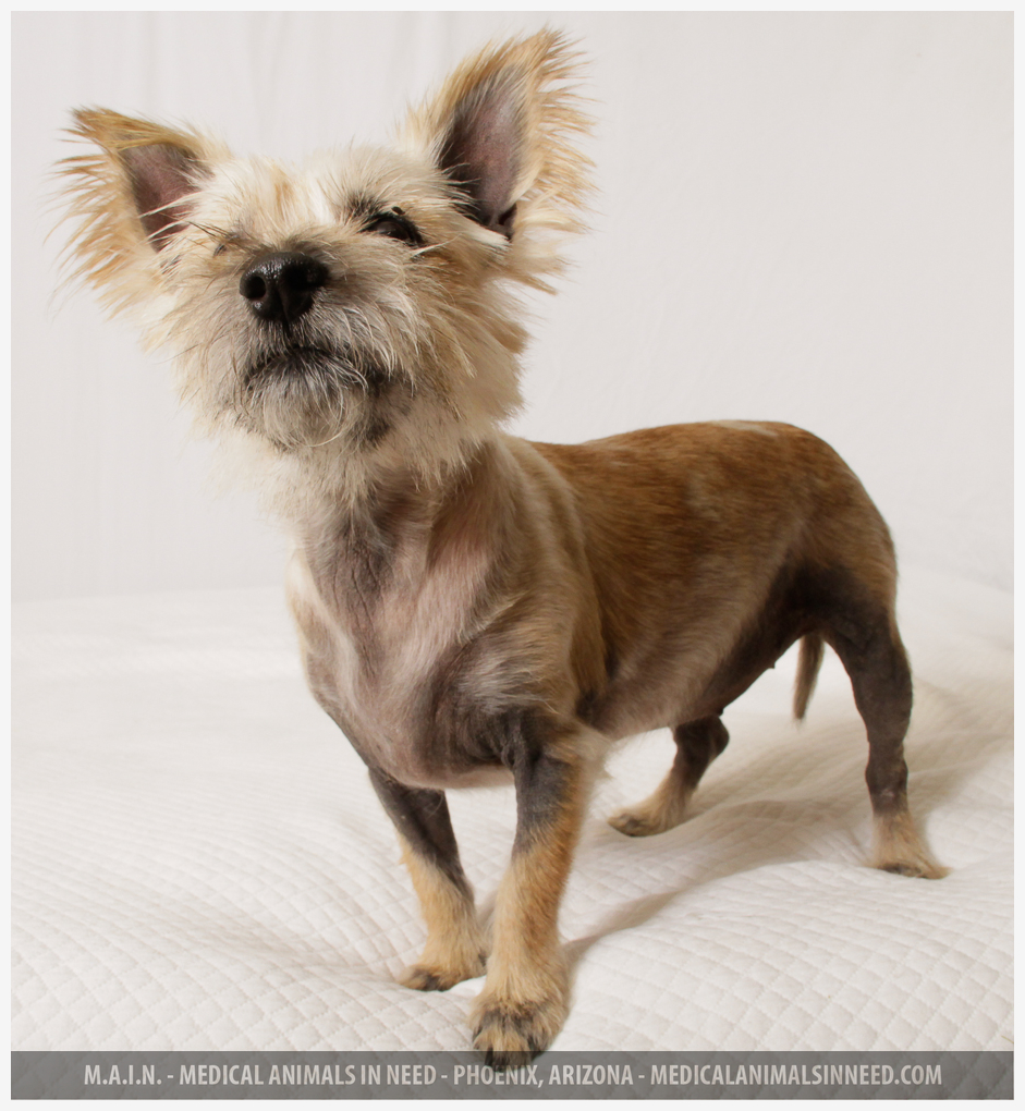 Shirley, Cairn Terrier Mix | | M.A.I.N. - Medical Animals In Need ... | Cairn Terrier Puppies Phoenix Az