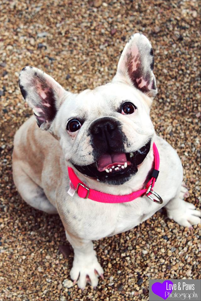 bulldog rescue az penelope french bulldog m a i n medical animals in 5371