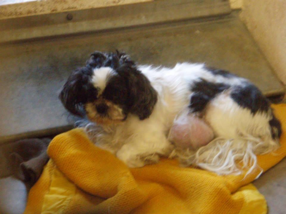 Help With Medical Bills >> Nikki, Shih-Tzu | | M.A.I.N. - Medical Animals In Need, Dog Rescue in Phoenix Arizona
