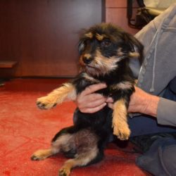 This beautiful little Schnauzer mix came into rescue from Pinal County.